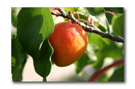 abricot-orangered-600x400.jpg