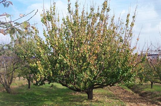 abricotier-arbre.jpg