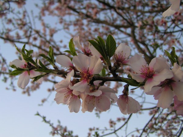 Mes arbres ma passion - Arbre murier fruit comestible ...