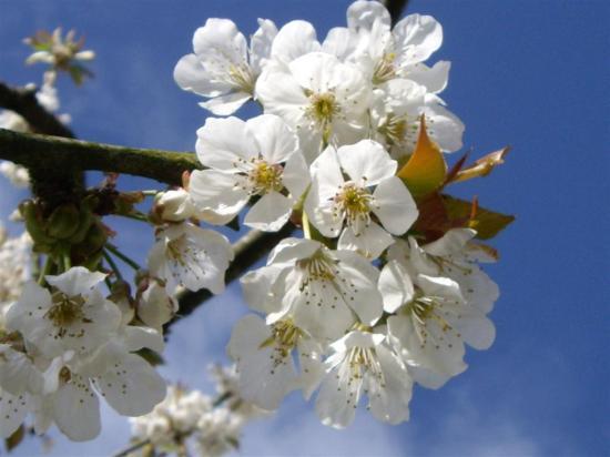 cerisier-1.jpg
