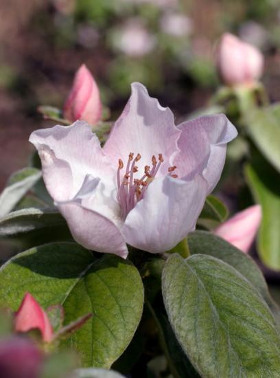 fleur-cognassier.jpg