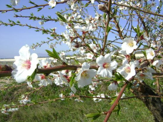 fleur-d-abricotier-1.jpg