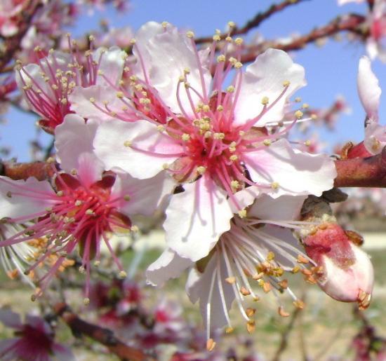 fleur-d-amandier-4.jpg