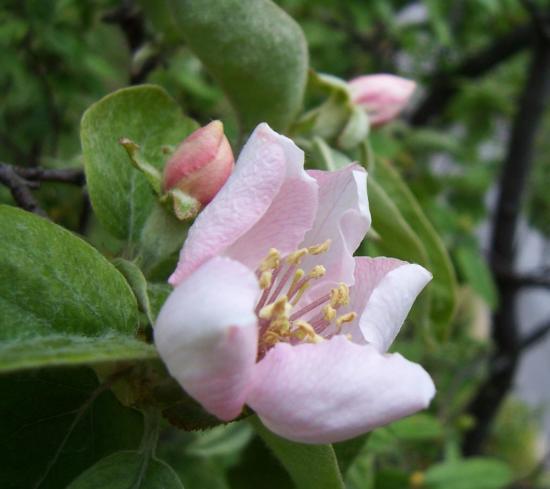 fleur-de-cognassier.jpg