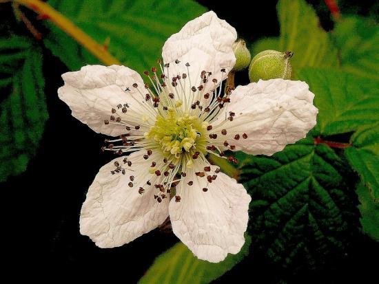 fleur-de-murier.jpg