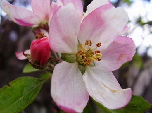fleur-de-pommier.jpg