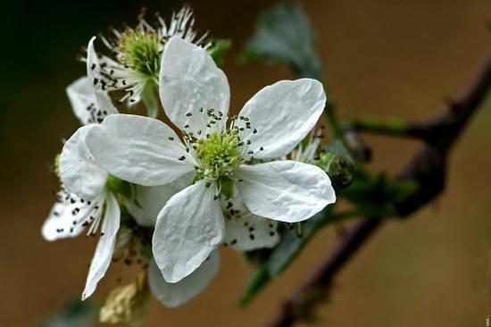 fleurs-murier.jpg