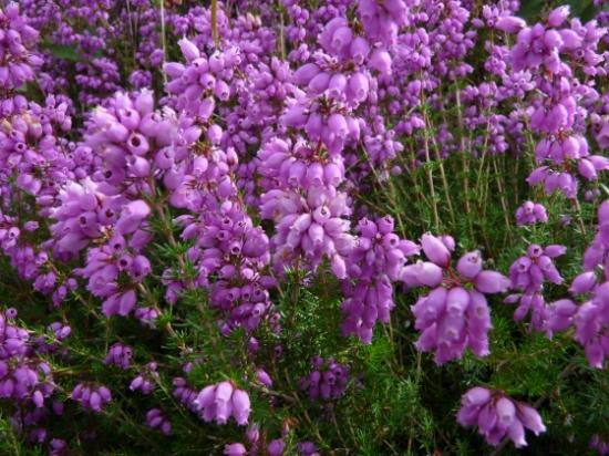 med-bruyere-cendree-erica-cinerea-ericacees-visoflora-23610.jpg
