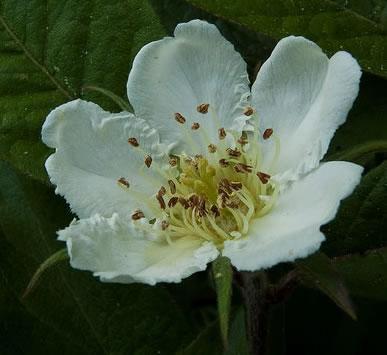 neflier-fleur.jpg