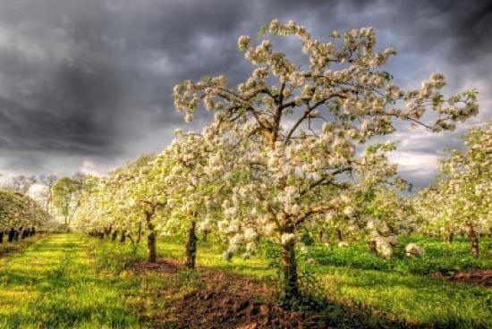 pommiers-en-fleurs.jpg