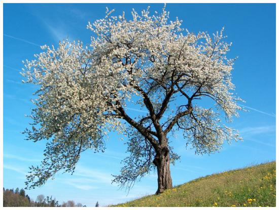 un-cerisier.jpg