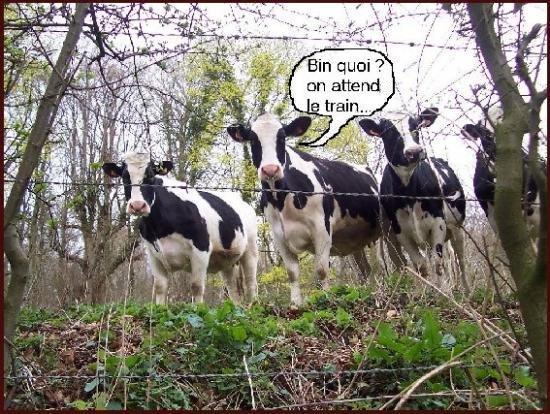 vaches-1.jpg